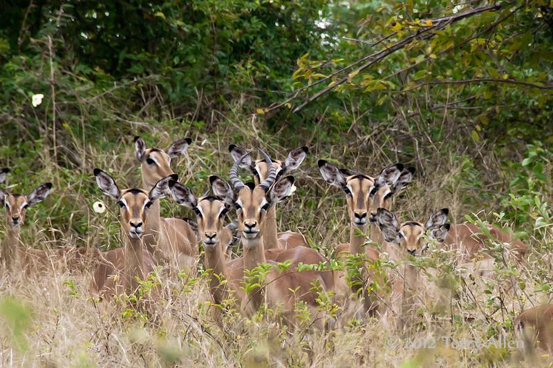 Male-Impala-&-harem