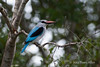Woodland-kingfisher