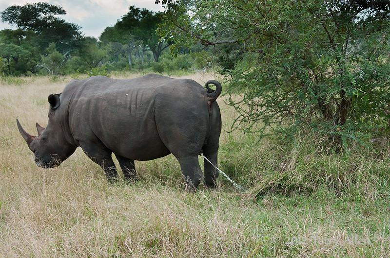 White-rhino-marking-territory