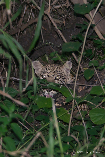 Young-leopard-in-thicket-at-night