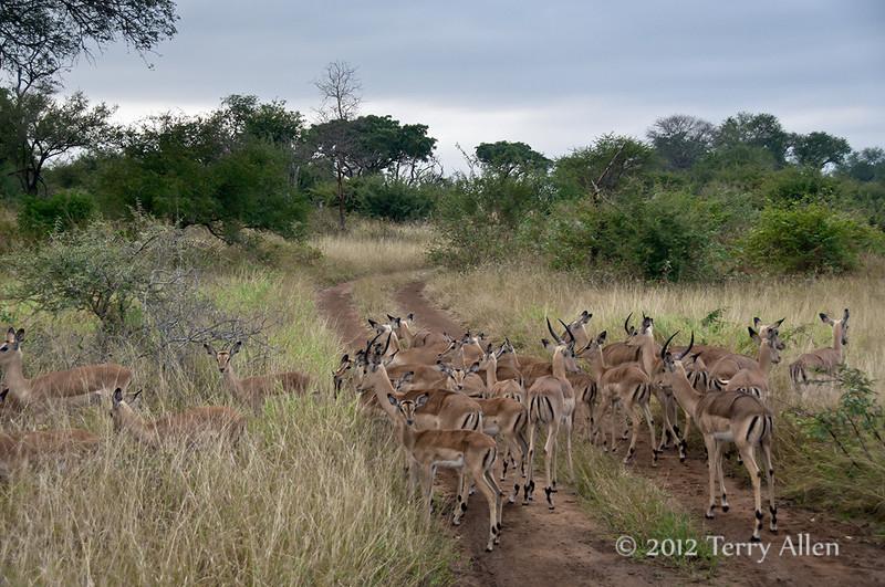 Herd-of-impala