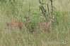 Duiker-pair-in-tall-grass