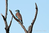 Lilac-breasted-roller-on-dead-branch-2