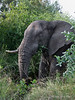 Elephant-eating-branches-4