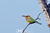 White Fronted Bee-eater