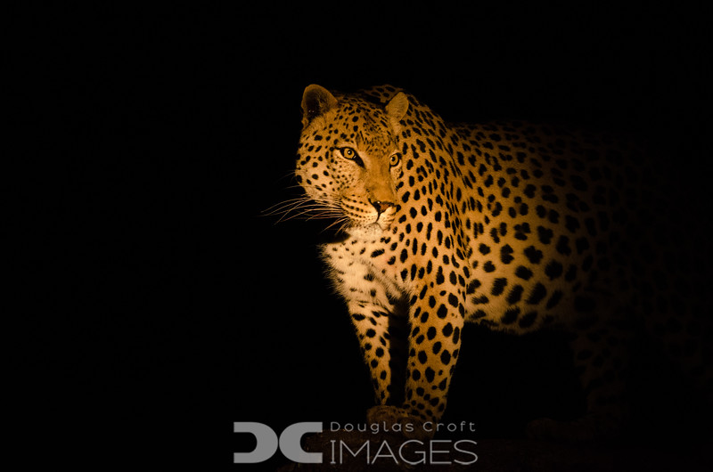 One of my favorites.  This was our first night drive and this big male leopard in a tree was lit only by our guide's spot.