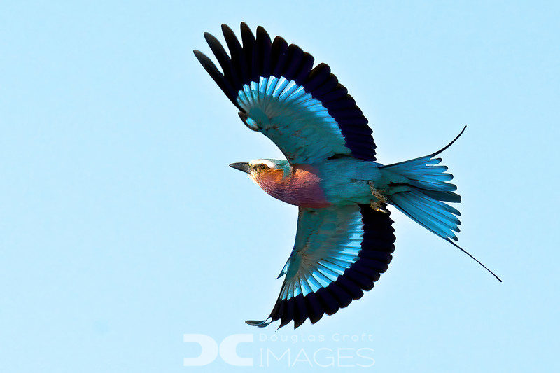 Roller in Flight