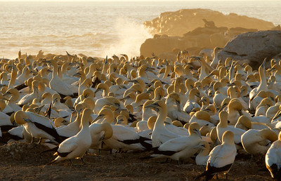 Cape Gannet Colony with Seal
