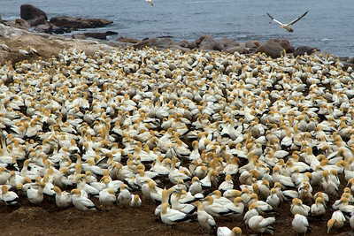 Gannet Colony 2