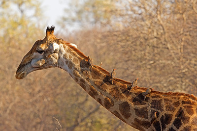 Red-billed Oxpeckers on Giraffe
