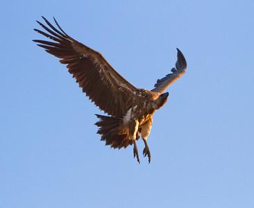 Vulture flyin