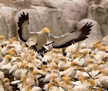 Gannet Fly-in