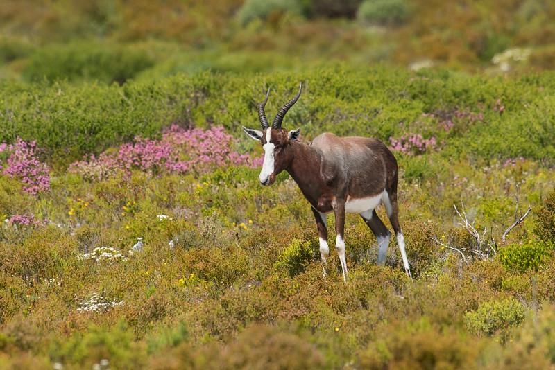 Bontebok Cape of Good Hope National Park South Africa