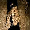 Leopard leaving tree, MalaMala