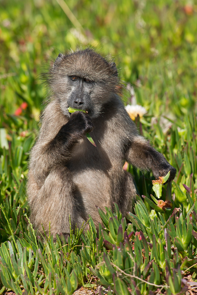 Baboon Cape of Good Hope National Park South Africa