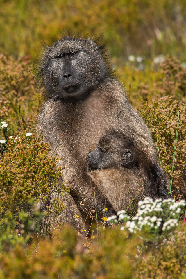 Baboon with Child Cape of Good Hope National Park South Africa