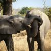 Elephant wrestling