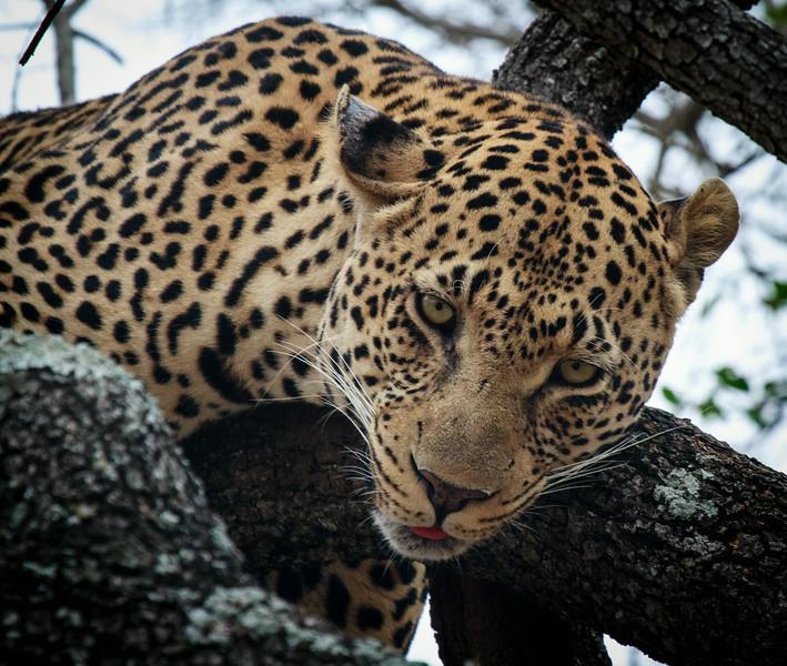 Leopard head shot
