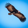 White-headed Vulture in flight