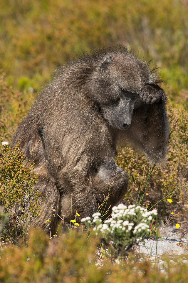 Baboon nursing young Cape of Good Hope National Park South Africa
