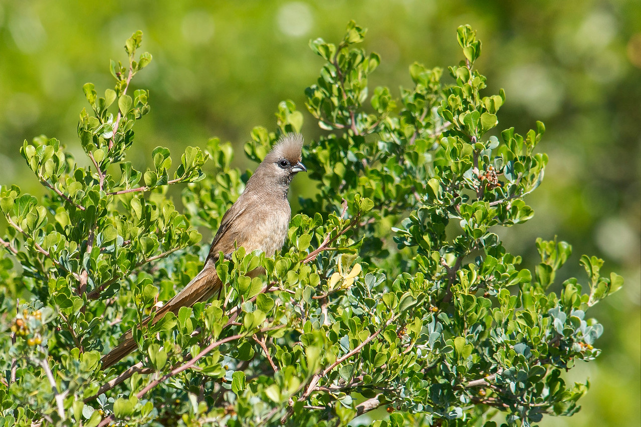 Mousebird Cape of Good Hope National Park South Africa
