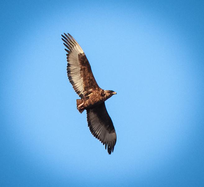 Immature Bateleur in flight