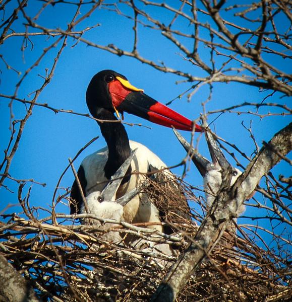 Saddle-billed Stork with chicks