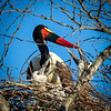 Saddle-billed Stork with chicks