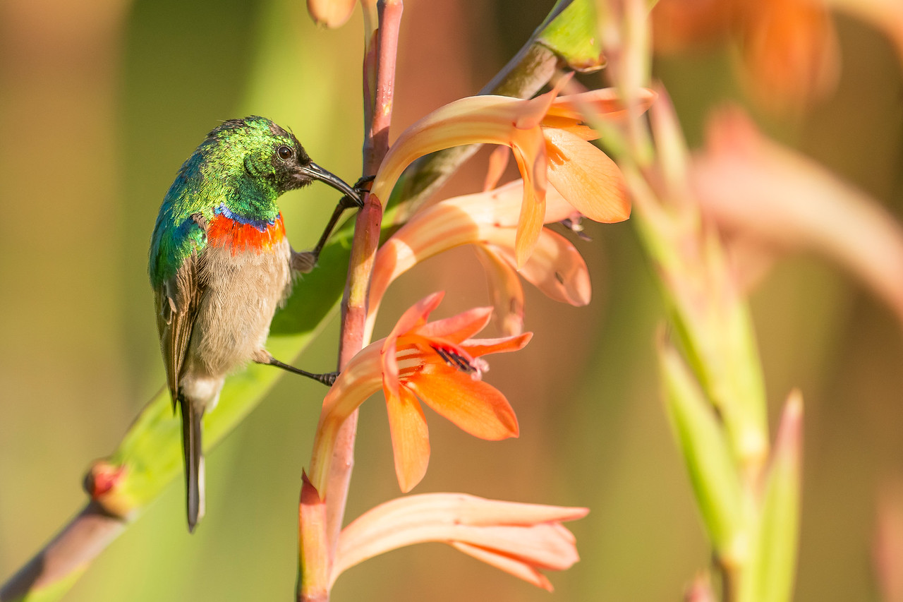 Southern Double-collared Sunbird Kirstenbosch National Botanical Garden Cape Town, South Africa