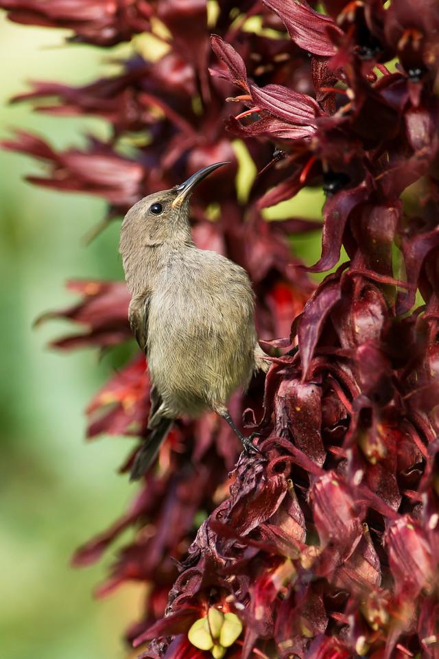 Lesser Double-collared Sunbird Female Kirstenbosch National Botanical Garden Cape Town, South Africa