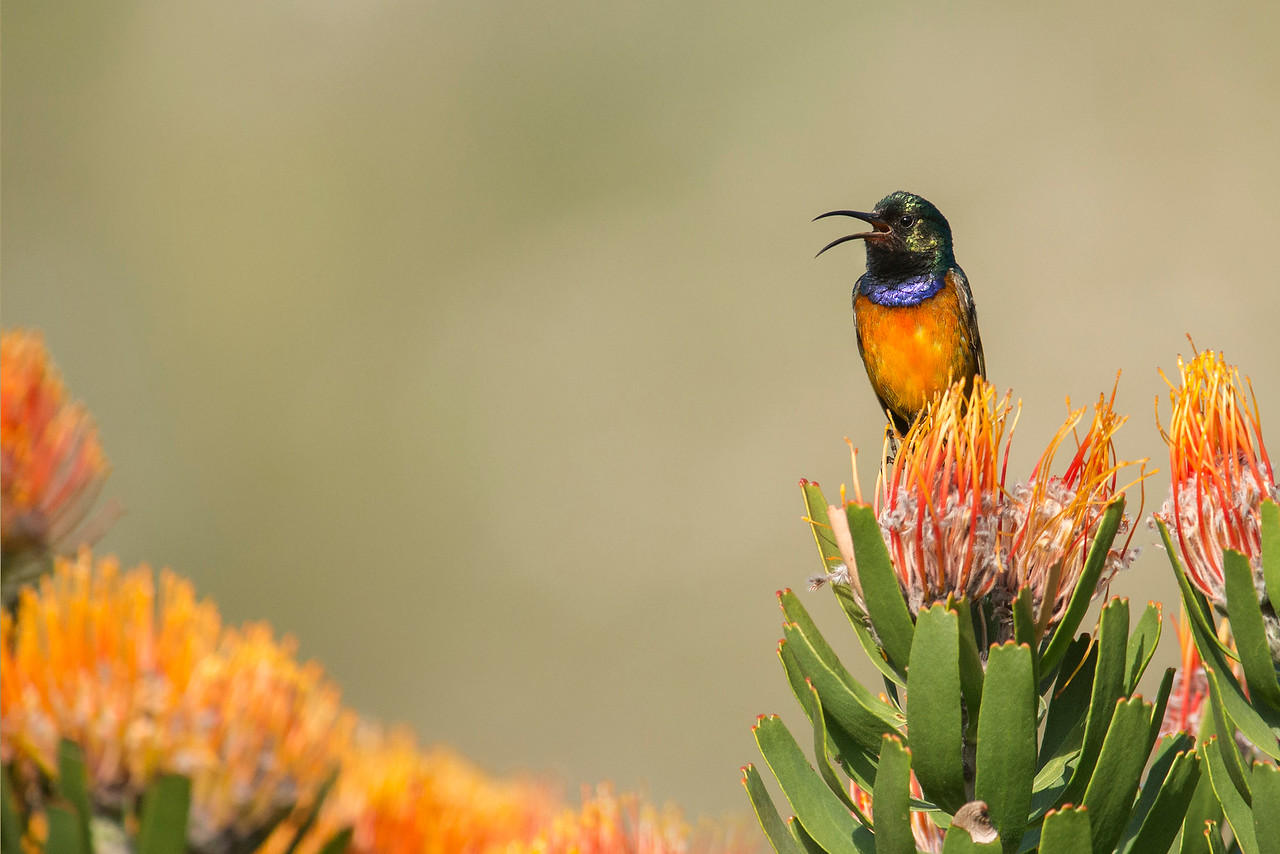 Orange-breasted Sunbird Kirstenbosch National Botanical Garden Cape Town, South Africa