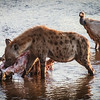 Hyena eating Kudu Carcass, MalaMala