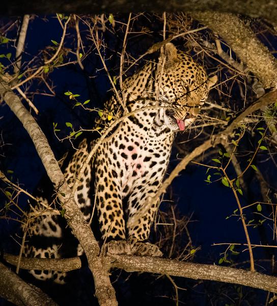 Leopard at Night, MalaMala
