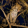 Leopard at Night, MalaMala