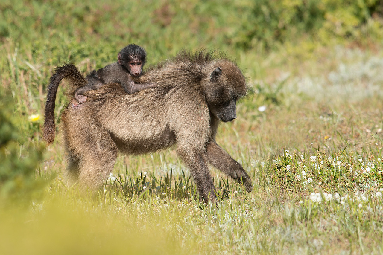 Baboon carrying child Cape of Good Hope National Park South Africa