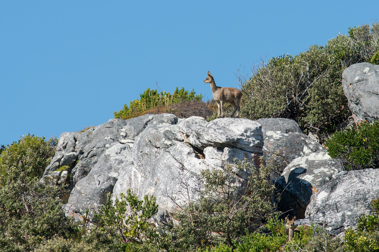 Klipspringer Cape of Good Hope National Park South Africa