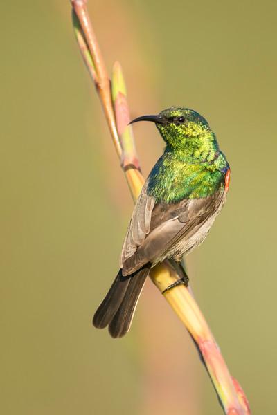 Southern Double-collared Sunbird Kirstenbosch National Botanical Garden Cape Town, South Africa