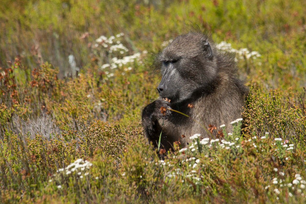 Baboon eating flowers Cape of Good Hope National Park South Africa
