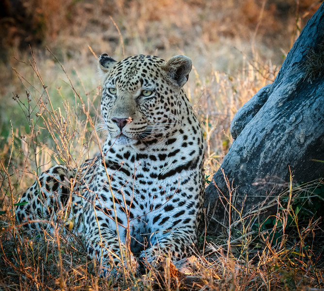 Leopard at MalaMala