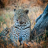 Leopard at MalaMala