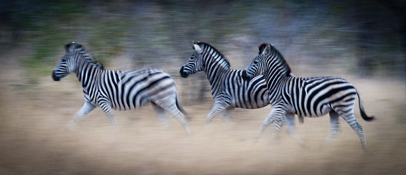 Zebras on the move,MalaMala