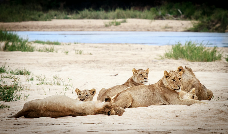 Lions relaxing at the beach