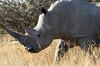 Square-lipped or White rhinoceros (Ceratotherium simum)