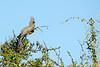 Grey go-away-bird or Grey Loerie (Corythaixoides concolor)