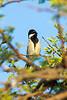 Ashy tit (Parus cinerascens)