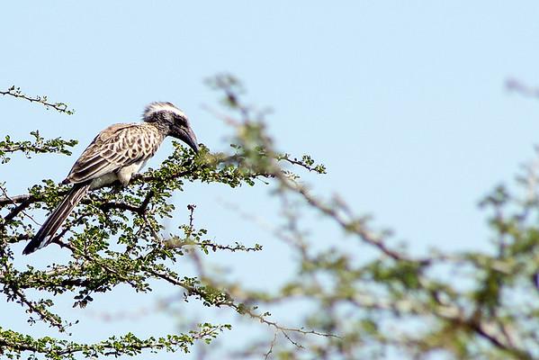 Family: Bucerotidae (hornbills)