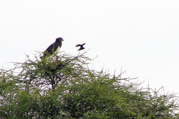 Black-chested snake-eagle or Black-breasted snake eagle (Circaetus pectoralis)