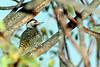 Cardinal woodpecker (Dendropicos fuscescens)