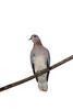 Cape Turtle Dove (Streptopelia capicola)