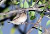 Bronze mannikin (Spermestes cucullatus) - Juvenile (first flight)